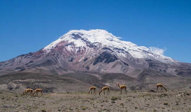 Vicuña's voor de Chimborazo