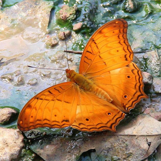 Vlinders spotten