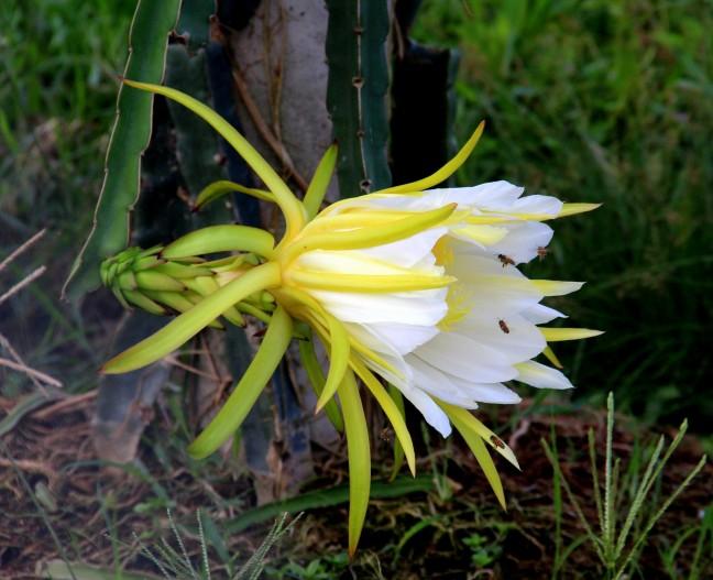 De bloem van het drakenfruit