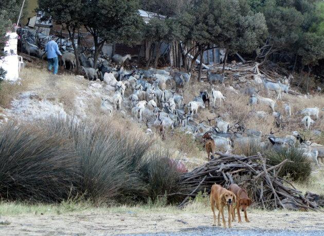Geitenherder op Samos