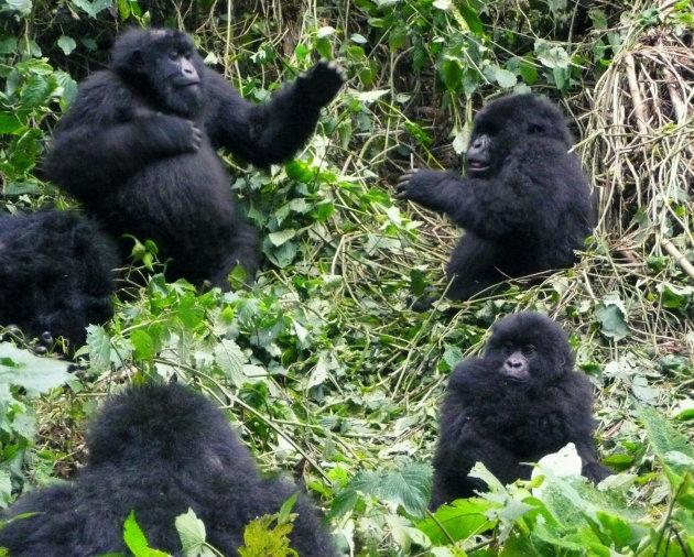 Lekker keten kunnen Gorilla's ook hoor