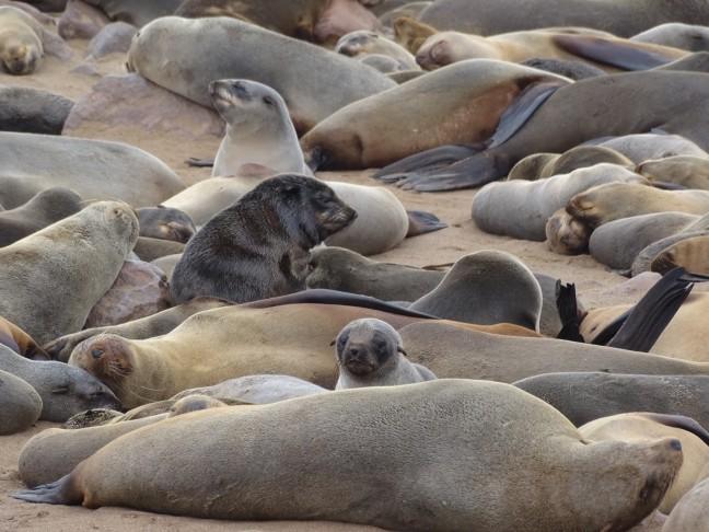 Alleen maar zeehonden...