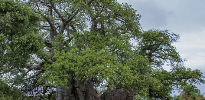 Baobab boom bar bij Modjadjiskloof