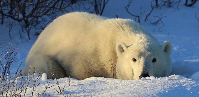 Polar bear in the sun