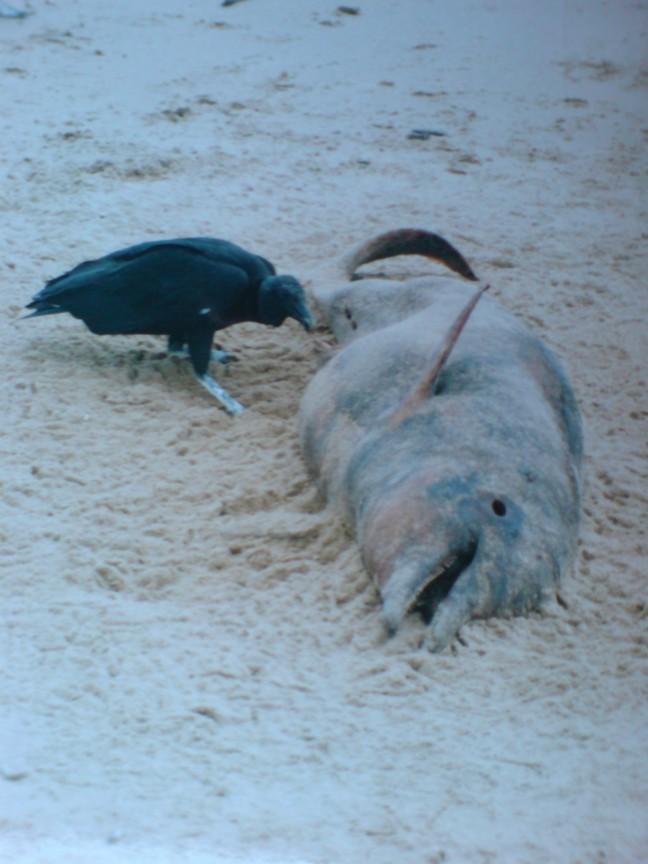 2001-2002 Dolfijn wordt opgegeten.