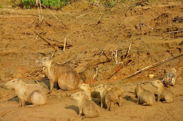Capibara familie