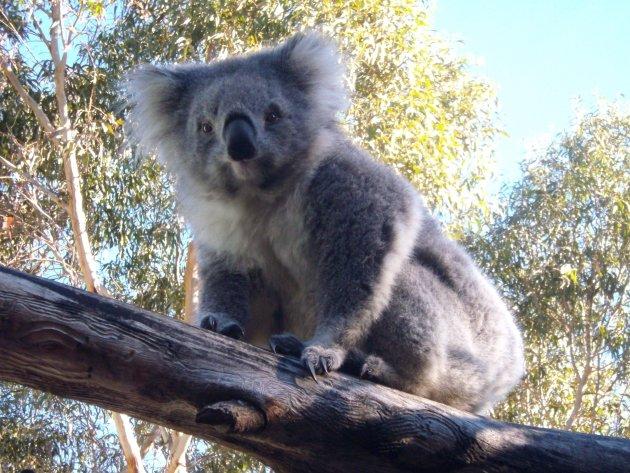 Koala model