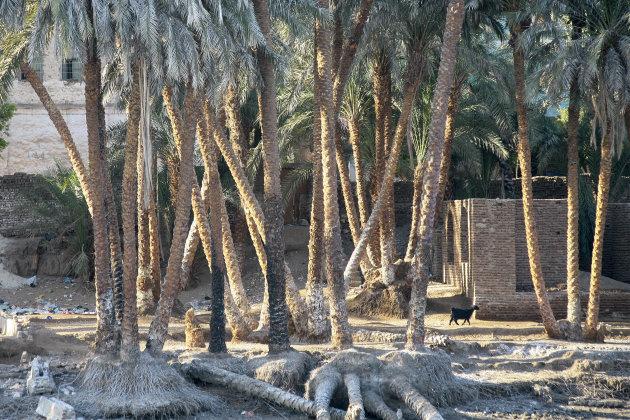 Palmbomen langs de Nijl