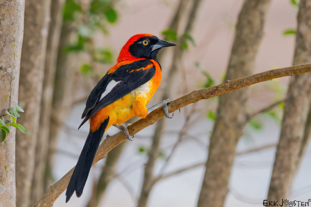 Orange Backed Troupial