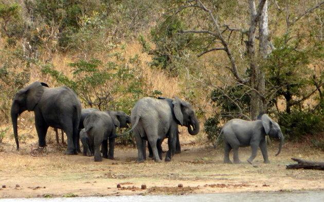 Olifant beschermend kuddedier