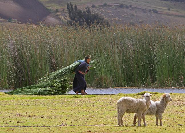 Rietdraagster Laguna de Colta