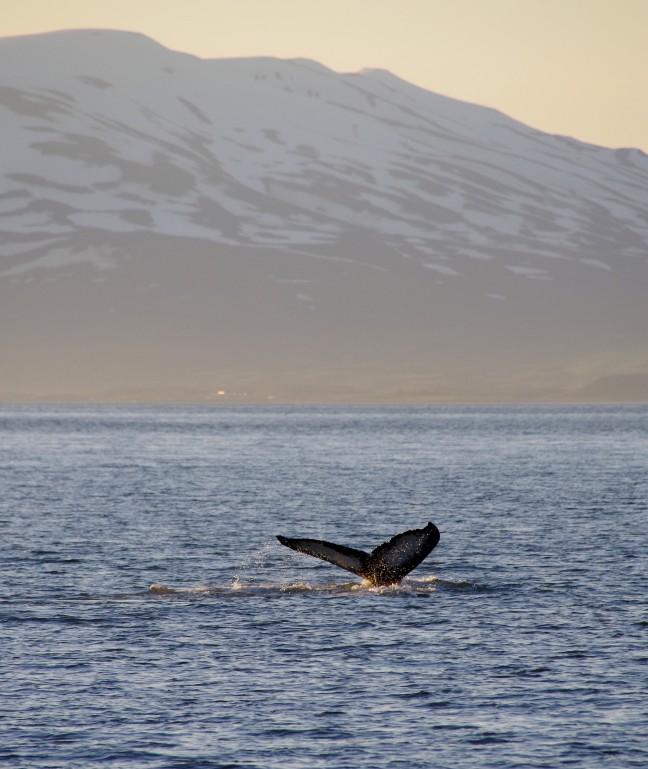 Walvisexcursie in Akureyri