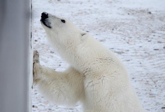 Koning van het Noordpoolgebied: de ijsbeer