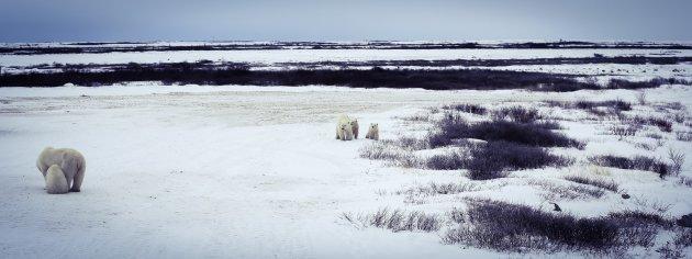De dames ijsbeer zijn geen vriendinnen