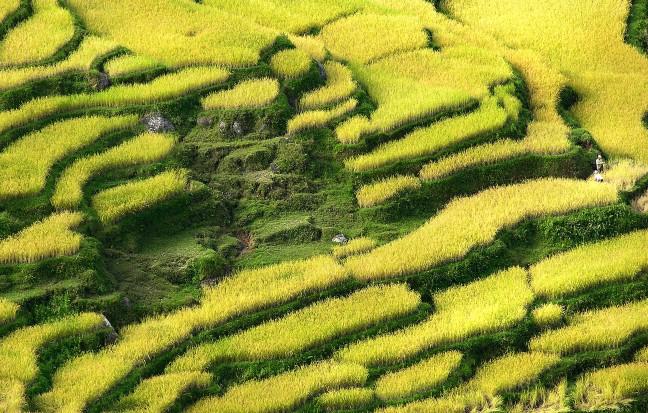 Rijpe rijst in Tana Toraja