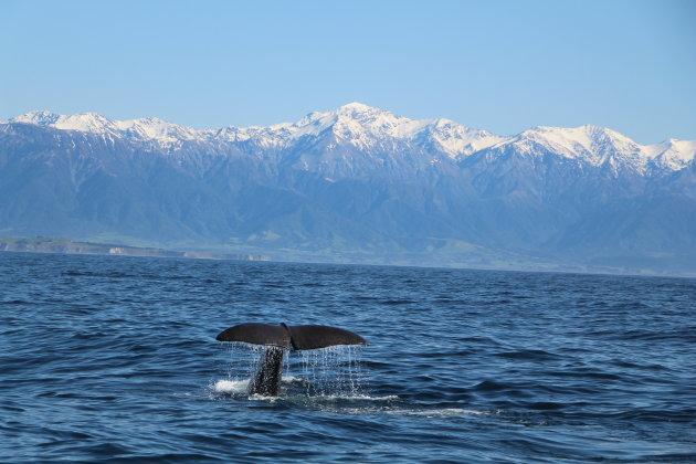 walvissen in kaikoura