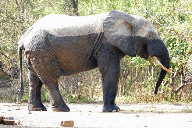 De Afrikaanse olifant in Mole NP