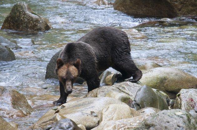 Nog een grizzly