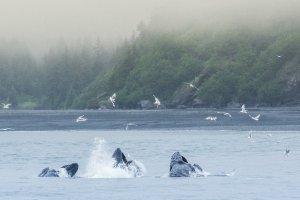 Jagende bultruggen in de Kenai Fjords
