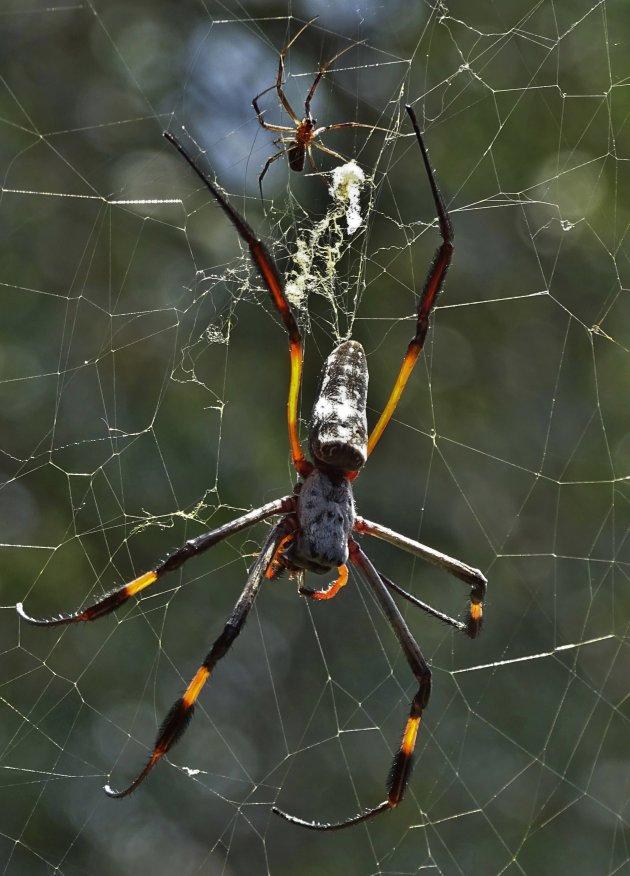 Wiel web spin