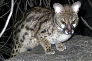 Large -spotted Genet  II