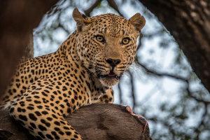 luipaard - lekker wrattenzwijn