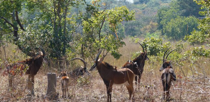 Sabelantilopen (Hippotragus niger)