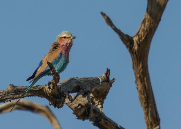 Nationale vogel van Botswana