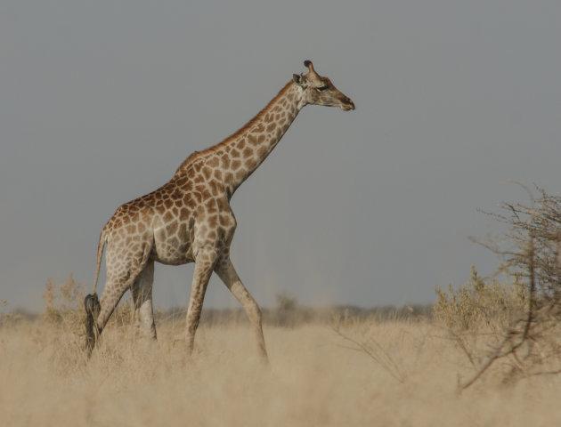Giraffe vanuit het gras