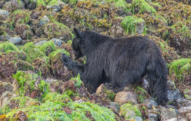 Zwarte beren rond Tofino
