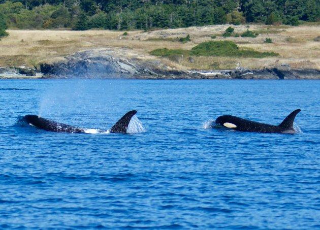 Spuitende Orca's