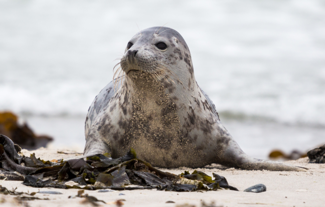 De zeehondjes op Düne