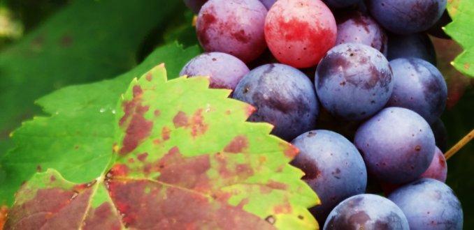 Piemonte ... land van de druif