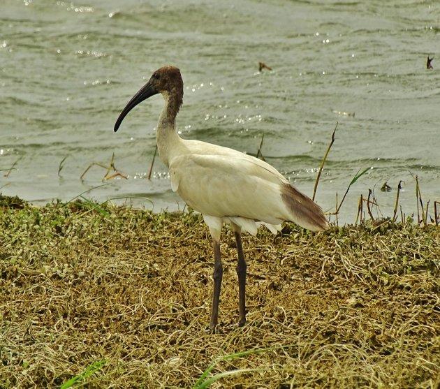Indische witte ibis