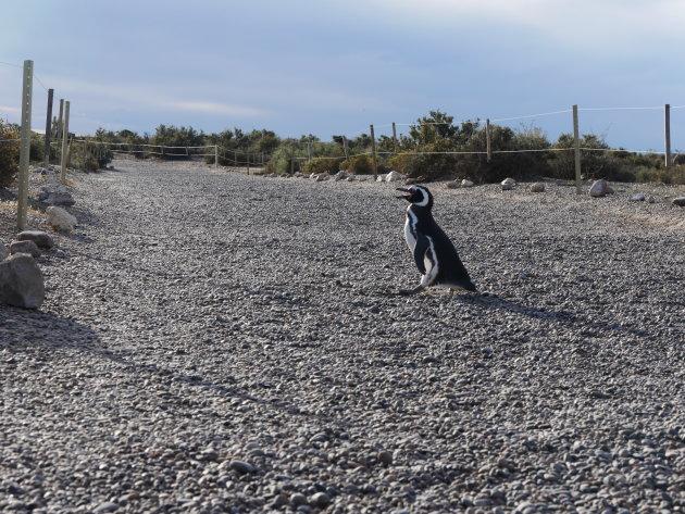 Overstekenden pinguïns hebben voorrang