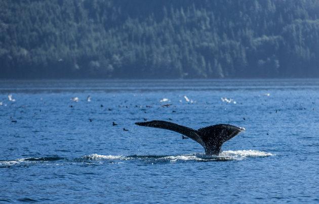 Walvissen vanuit Tofino