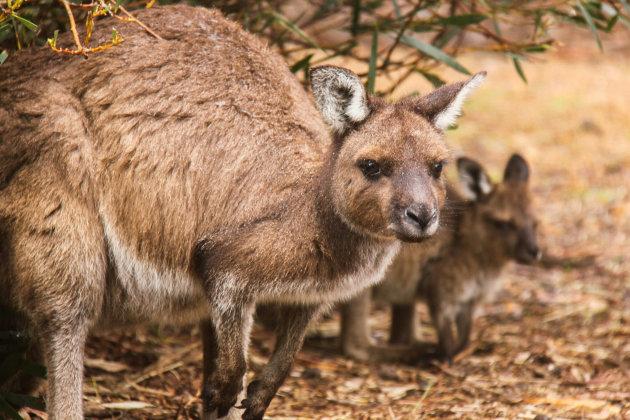 Kangaroe op Kangaroo Island