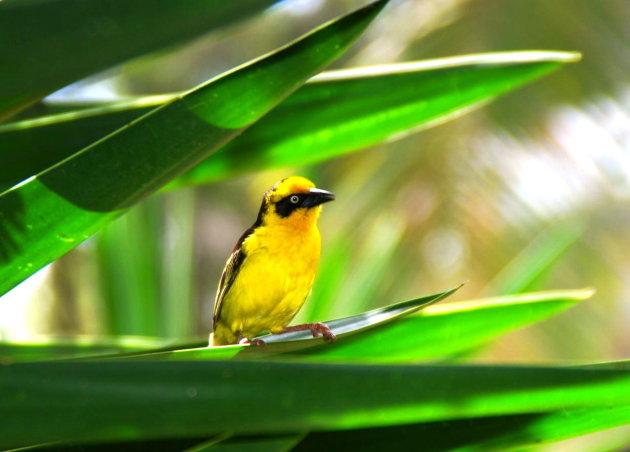 Gele wever