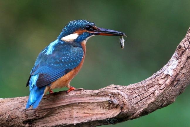 IJsvogel met vis