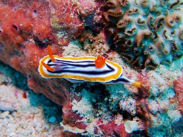 Zeenaaktslak koraaldriehoek