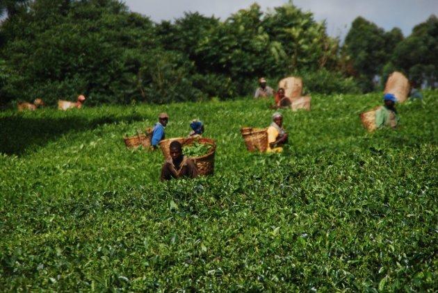 Theeplukkers in het veld