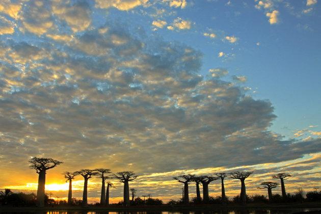 Baobabs tijdens zonsondergang
