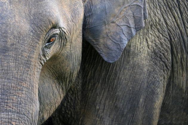 Sri Lankaanse olifant