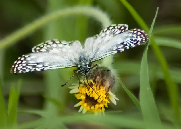 Vlinder bij Hito de Las Tres Fronteras Argentina