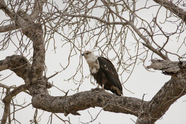 Jonge fish eagle