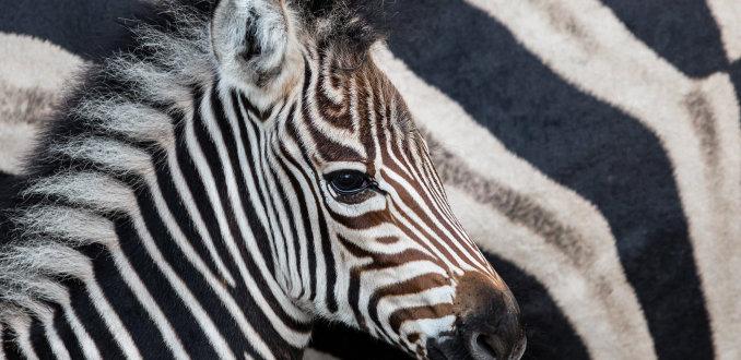 zebrastrepen
