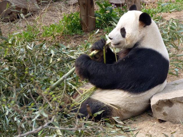 Pandaberen in Beijing