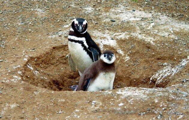 Pinguïn-eiland