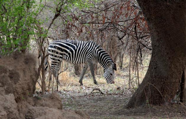 Zebra in de zon