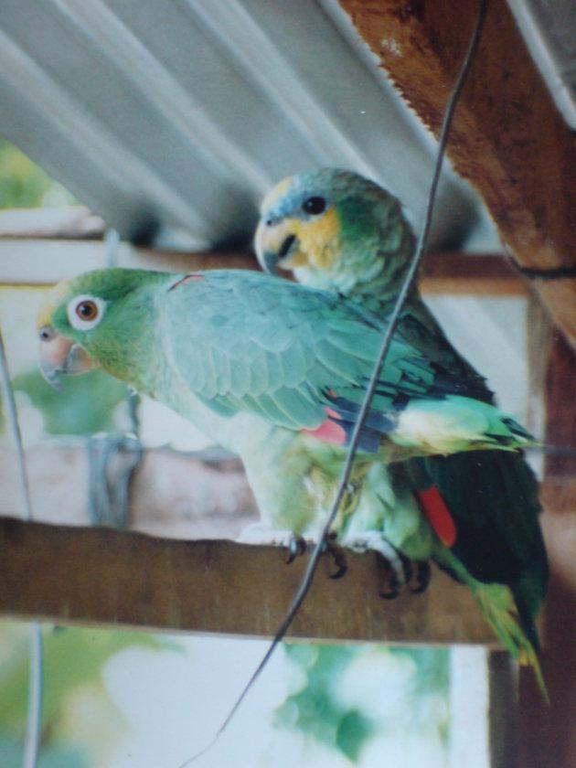 2001-2002 Koele Koele papegaaien.